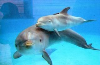 Delfino e cucciolo, Oltremare