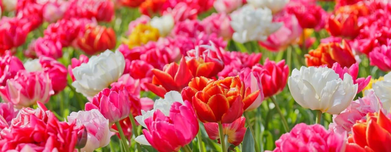 Fiori 1 Maggio.Cattolica In Fiore L Esposizione Floreale Di Maggio